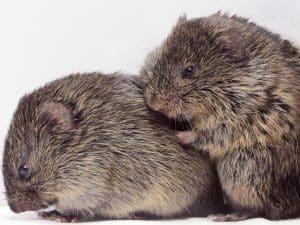 Two prairie voles grooming each other