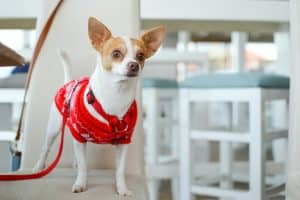 Photo of a chihuahua dog wearing a Christmas jumper
